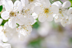 Beautiful white flowers of a cherry tree on a branch. Outdoors. Stock Images