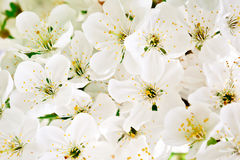 Beautiful white flowers of a cherry tree on a branch. Outdoors. Royalty Free Stock Image