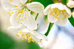 Beautiful white flowers of a cherry tree on a branch. Outdoors. Close-up Royalty Free Stock Photography