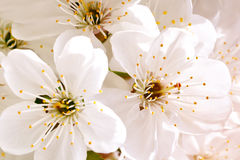 Beautiful white flowers of a cherry tree on a branch. Outdoors. Stock Photography