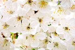 Beautiful white flowers of a cherry tree on a branch. Outdoors. Royalty Free Stock Photos