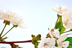 Beautiful white flowers of a cherry tree on a branch. Outdoors. Royalty Free Stock Images