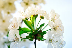 Beautiful white flowers of a cherry tree on a branch. Outdoors. Stock Photo