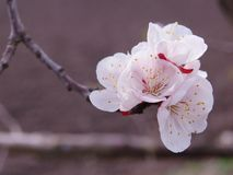 Beautiful white flowers of the cherry tree stock images