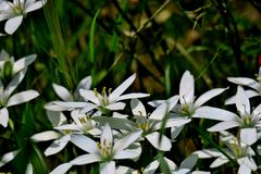 Beautiful white flowers close up in the form of stars stock image