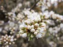 Beautiful White Flowers close up and near Royalty Free Stock Images