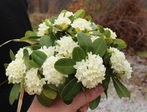 Beautiful white flowers of Daphne blagayana in blossom, wild from the forest stock photo