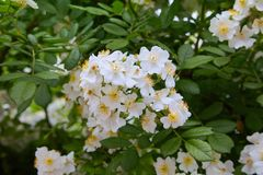Beautiful white flowers of a green bush in the garden in summer. Rosa sempervirens, evergreen rose -beautiful white flowers of a green bush in the garden in stock photo