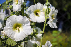 Beautiful white mallow flowers in the garden. Beautiful white flowers mallow in the garden close-up in summer Stock Image