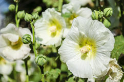Beautiful white mallow flowers in the garden. Beautiful white flowers mallow in the garden close-up in summer Royalty Free Stock Images