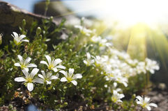 Beautiful white flowers in the mountains Stock Photo