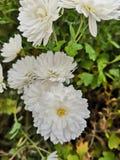 Beatiful white flowers. Beautiful white flowers in my garden royalty free stock photos