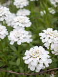 Beautiful White Flowers Nature and Peace, Looking Crisp and Clea. R in the Spring, on a Plant and Shrub with Green Leaves, Macro with Backgroud Blurred Royalty Free Stock Photos