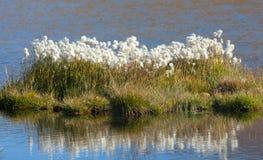 Beautiful white flowers od cottongrass Royalty Free Stock Photo