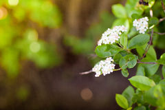 White flowers in spring Stock Photography