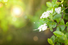 White flowers in spring Stock Photos