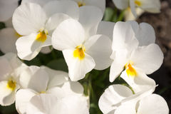 Beautiful white flowers in spring Royalty Free Stock Photo