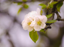 Beautiful white flowers in spring. First flower bloomed in the apple tree Stock Photos