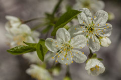 Beautiful white flowers on spring time. Beautiful  flowers close up detail with raindrops Stock Image