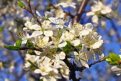 Beautiful white flowers of spring tree Royalty Free Stock Photo