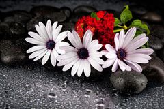 Beautiful white flowers with stones on dark background.  Royalty Free Stock Image