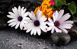 Beautiful white flowers with stones on dark background.  Stock Photos