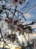 Cherry tree enchanting flowers. Beautiful white flowers summon on you the peace and graceness of nature. The picture was took just in the exact moment, with the royalty free stock images