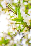 Beautiful white flowers on tree in spring royalty free stock photo