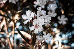 Beautiful white flowers on a tree in the tropics. Flowers of Turkey. The blossom on the branch stock photography