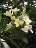 Beautiful white flowers of a tropical plant.  Stock Photos