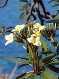 Beautiful white flowers of a tropical plant. With a hazy view of the ocean on the background Royalty Free Stock Images