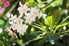 Beautiful flowers at tropical resort on sunny day. Beautiful white flowers at tropical resort on sunny day royalty free stock photo