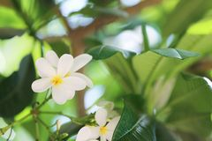 Beautiful white flowers at tropical resort on sunny day stock images