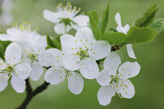 Beautiful white flowers with water drops Stock Photography