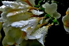 Beautiful white flowers with water drops after the rain royalty free stock image