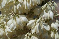 Yucca filamentosa blossom. Beautiful white flowers of Yucca Filamentosa tropical plant Stock Image