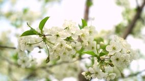 Beautiful white flowery fruit tree under a blue sky in spring. Tree in bloom. Cherry blossoms. Beautiful white flowery fruit tree under a blue sky in spring stock video