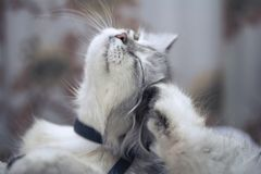 white fluffy cat is scratching its ear royalty free stock images