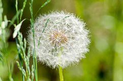 Beautiful white and fluffy dandelion on a Dim background of green grass royalty free stock image