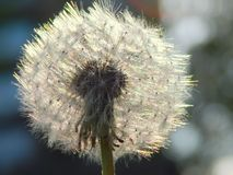 Beautiful white fluffy dandelion round Royalty Free Stock Photo