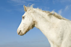 Beautiful white foal Stock Photos