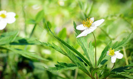 Beautiful white forest flower and green vivid grass in summer Stock Photo