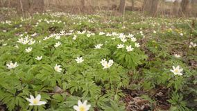 Beautiful white forest flowers, a man advances and tramples flowers in the forest the concept of harm to nature by man