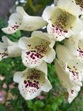 Beautiful white foxglove grow in the park.  stock photos