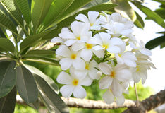 Beautiful white Frangipani cluster Royalty Free Stock Photography