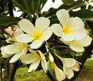 Beautiful  White Frangipani flower and green leaves stock photo