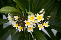Beautiful white Frangipani flower Royalty Free Stock Photo