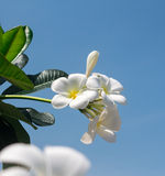 Frangipani flowers. Beautiful white frangipani flowers Royalty Free Stock Image