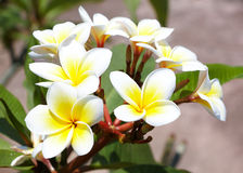 Beautiful white frangipani flowers Stock Photography