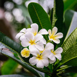 Beautiful White frangipani flowers, plumeria flowers blooming on tree Stock Images